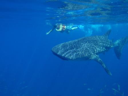 2013-05-23-WhaleShark.JPG