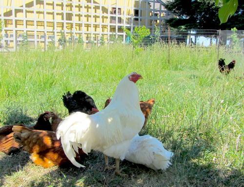 2013-05-23-chickens.JPG