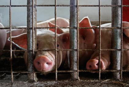 2013-05-30-PigsinCrate.jpg