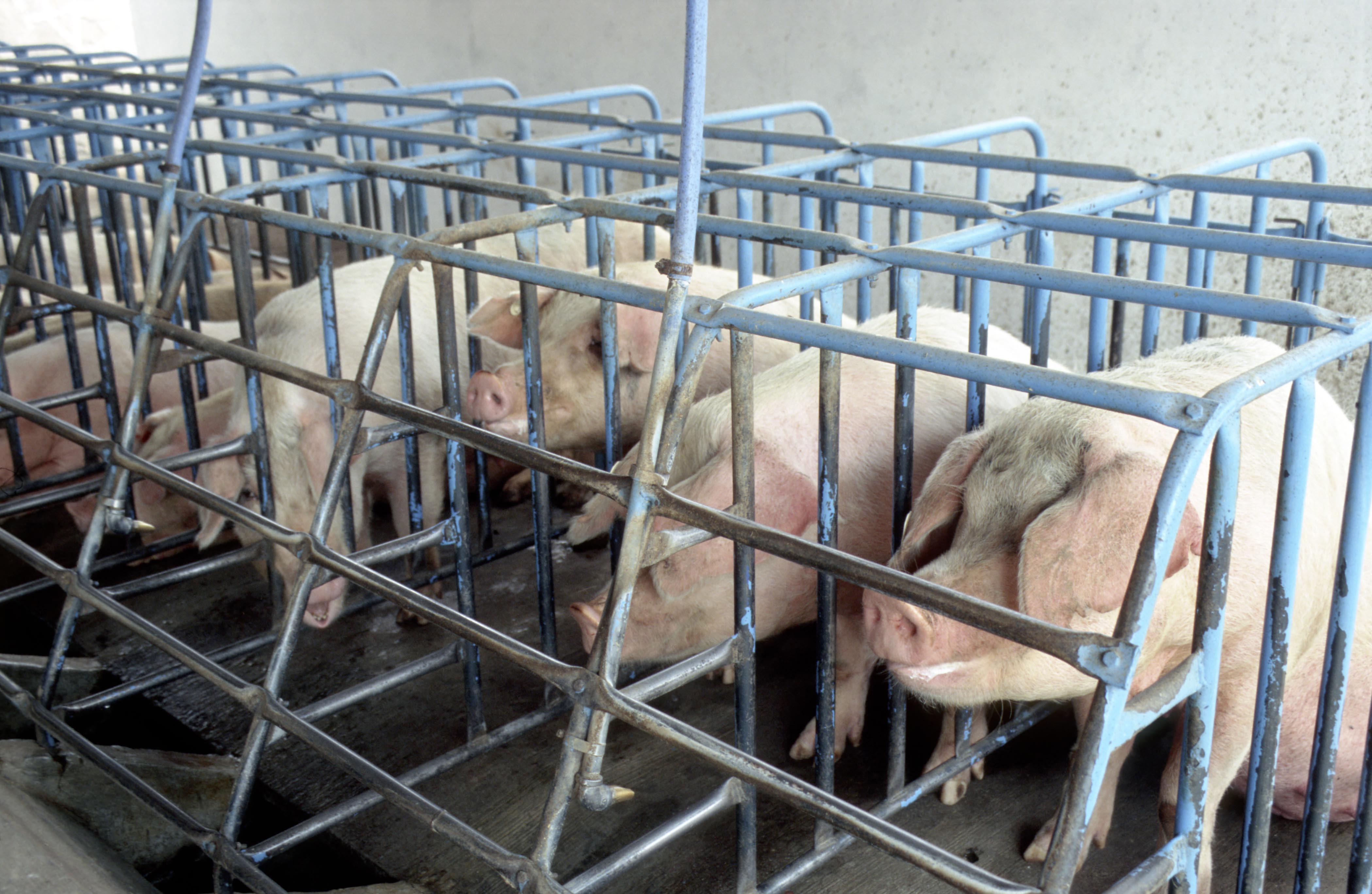 2013-06-03-Pigs.WSPACopyright.jpg