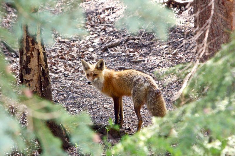 2013-06-06-fox.jpg