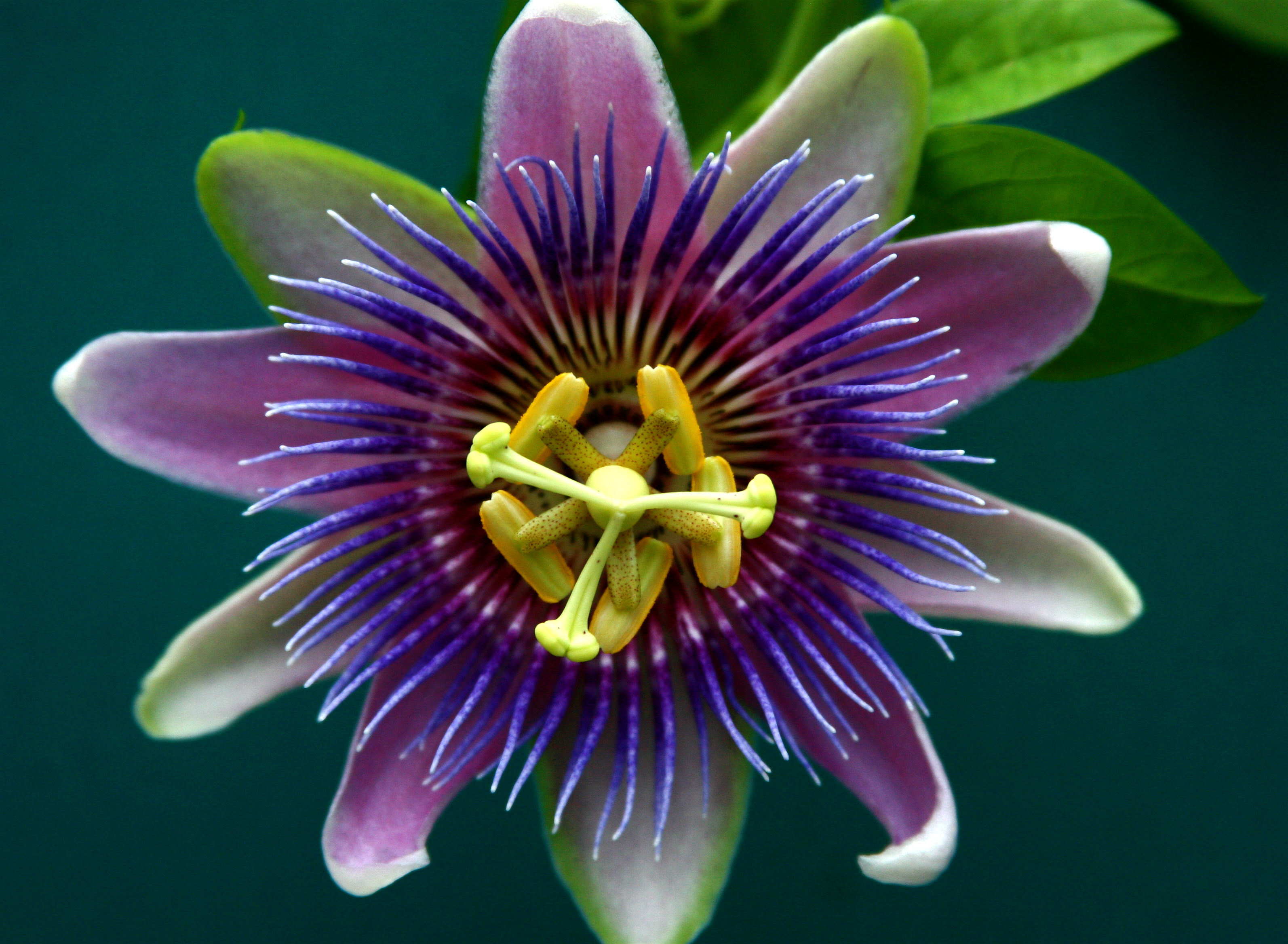 Scent Sensibility The Passion Flower Huffpost