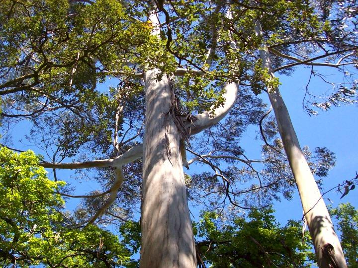 2013-06-08-Eucalyptus.jpg
