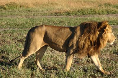 2013-06-14-African_lion.jpg