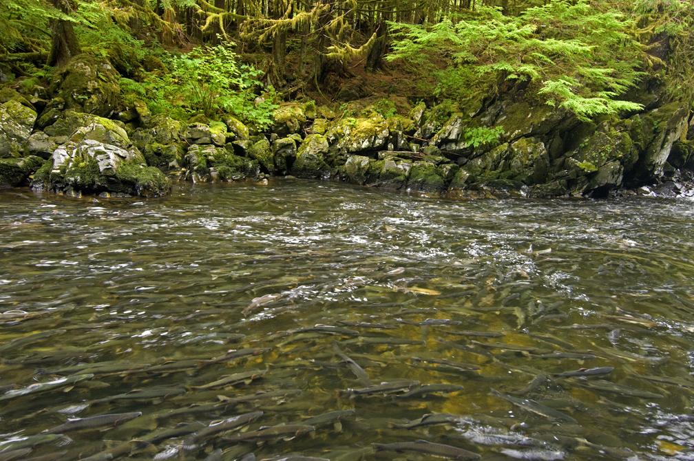 2013-06-14-SalmonForestH_LoRes_AmyGulick.jpg