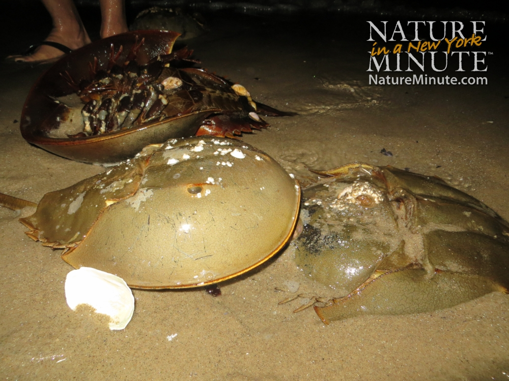 Living Fossils Go to Town on NYC Beaches | HuffPost