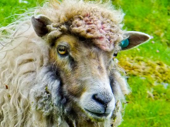 2013-06-19-Sheep.jpg