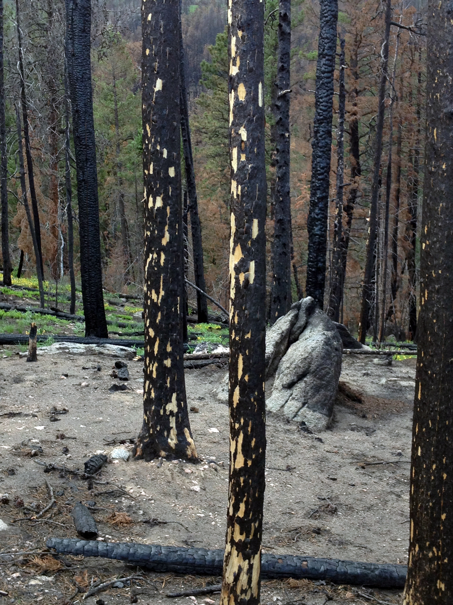 Trees devastated by the High Park fire in Colorado
