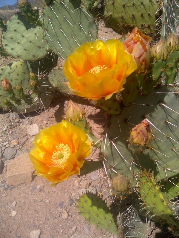 2013-06-25-AZTripcactusflowers.JPG