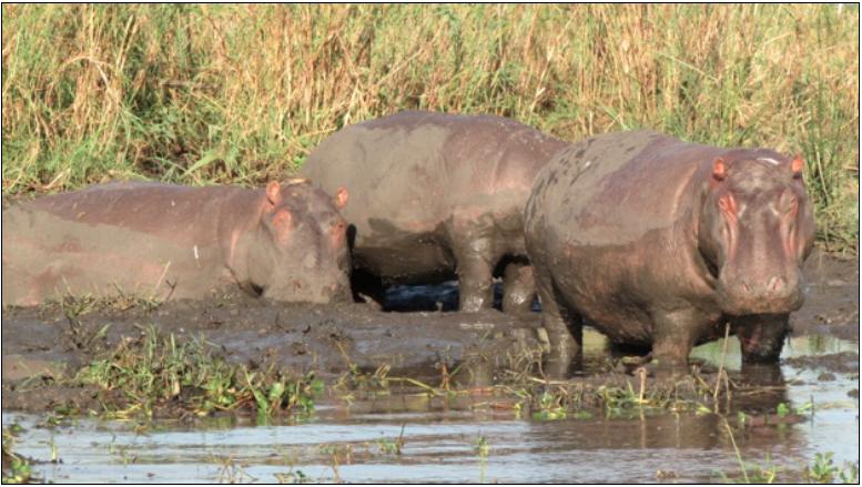 2013-06-25-Hippos.png