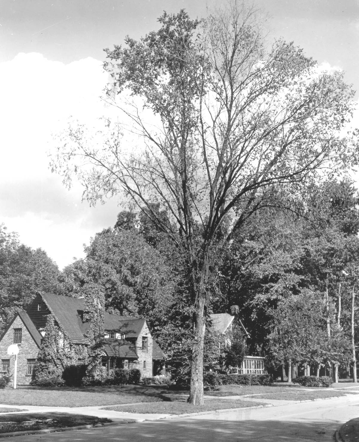 The American chestnut was once one of the country's great trees.