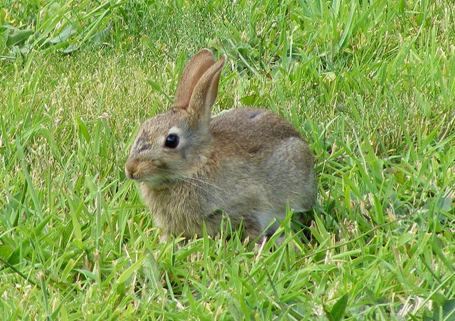 2013-07-24-A_Wild_Rabbit_at_Lossiemouth__geograph.org.uk__1441920.jpg