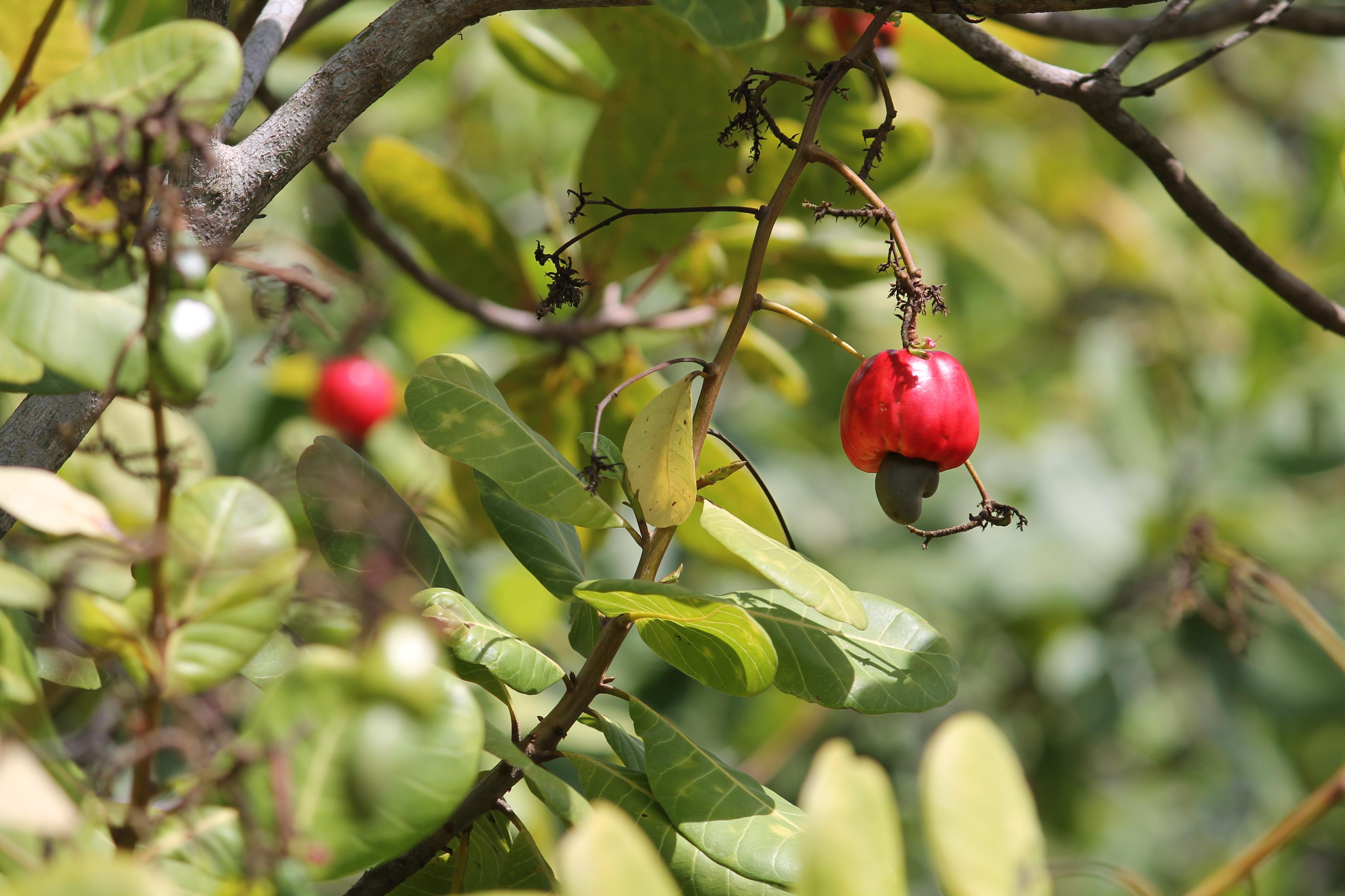 2013-08-10-Cashewfruit.JPG