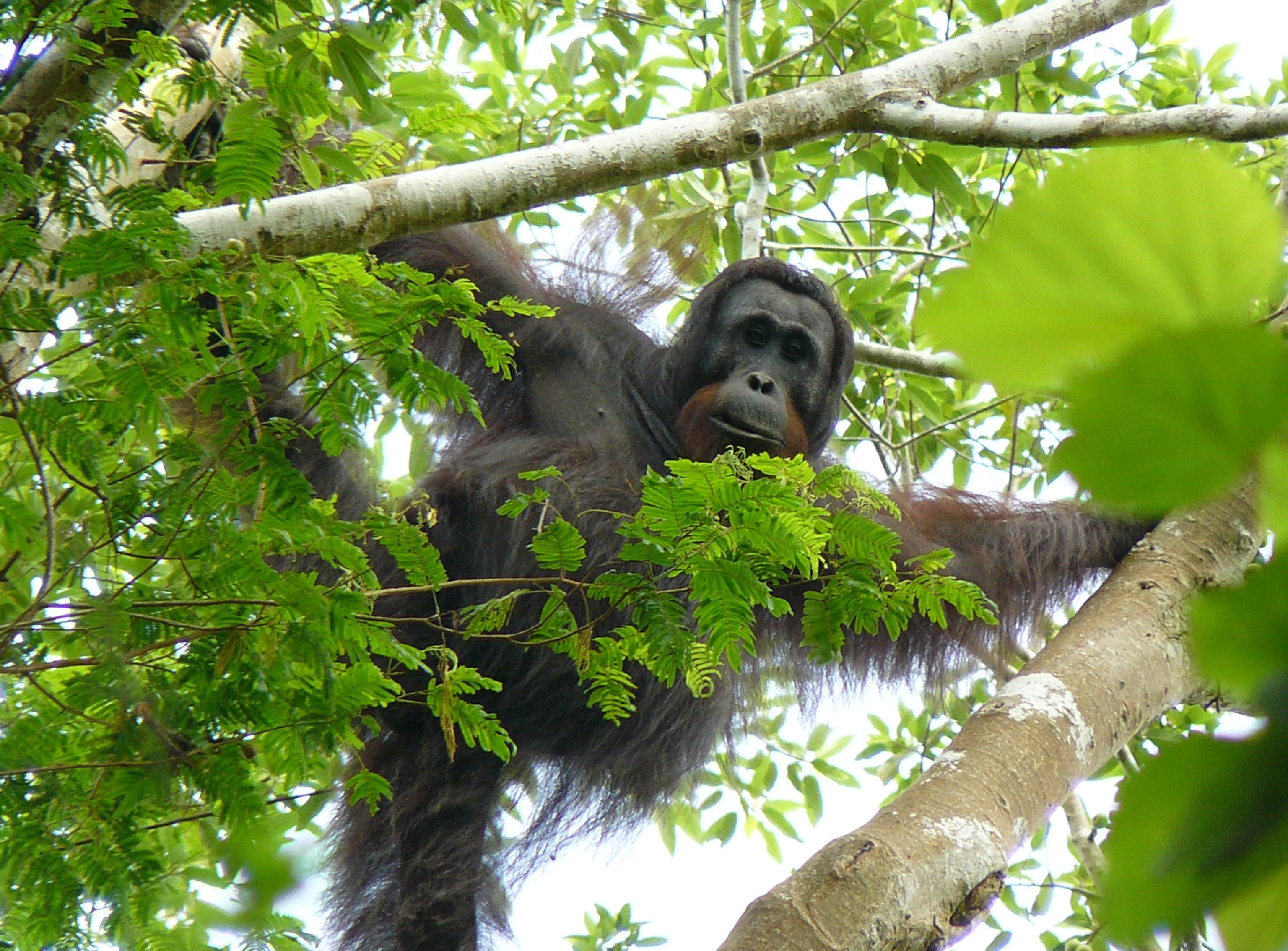 2013-08-19-OrangutanNardiyono.jpg