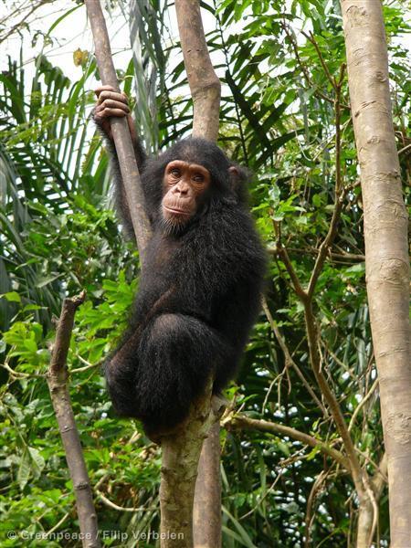2013-08-22-Filip_Verbelen_Chimpanzee.jpg