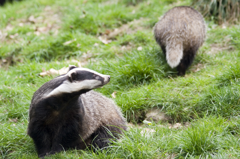 2013-08-28-Badgersatsett.jpg