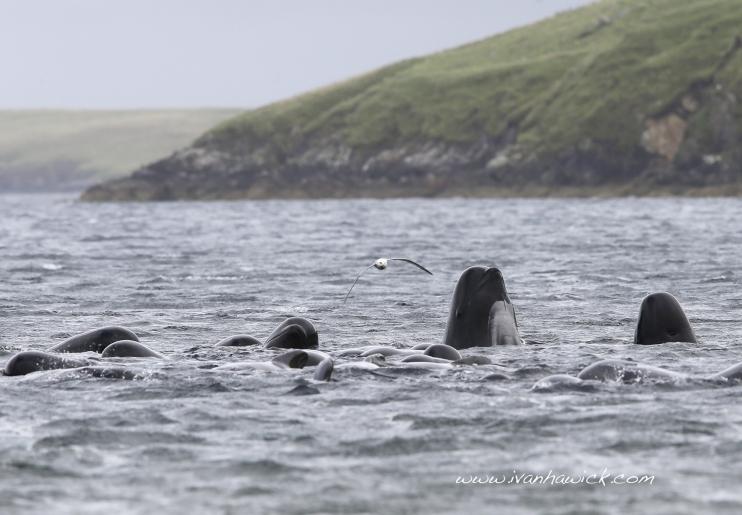 2013-09-10-130902_pilot_whales_in_firth_voe_5_ivan_hawick742x515.jpg