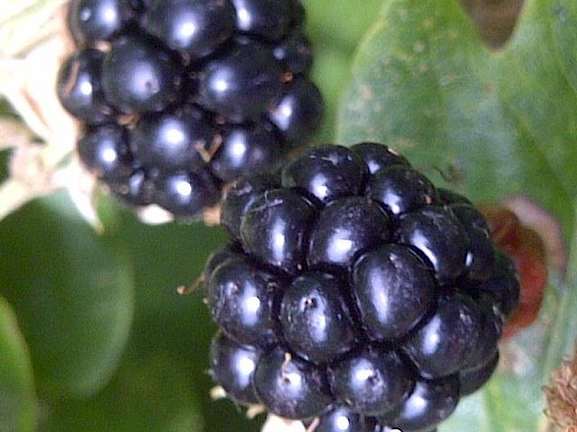 2013-09-11-Blackberrycloseup.jpg