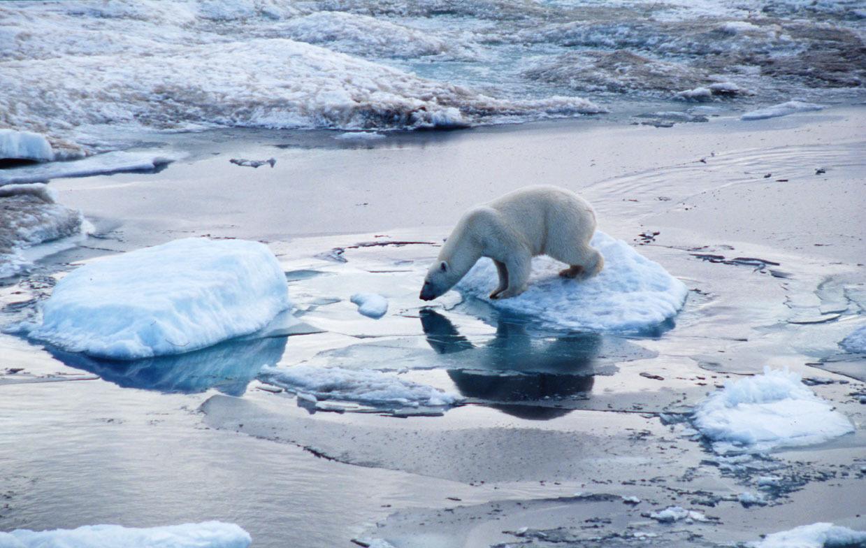 2013-09-11-Polarbearsmaller.jpg