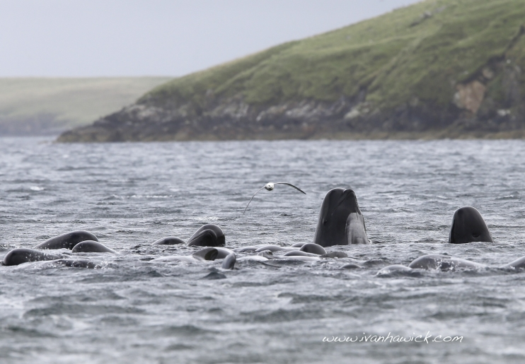 2013-09-12-130902_pilot_whales_in_firth_voe_5_ivan_hawick742x515.jpg