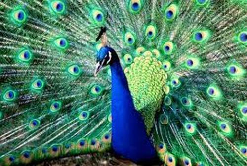 2013-09-21-peacock.jpg