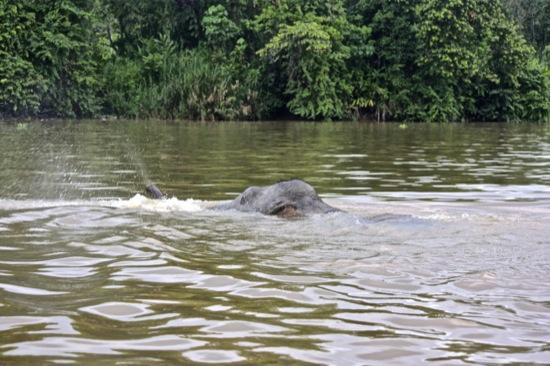 elephant swimming across Kinabatangan river.jpg