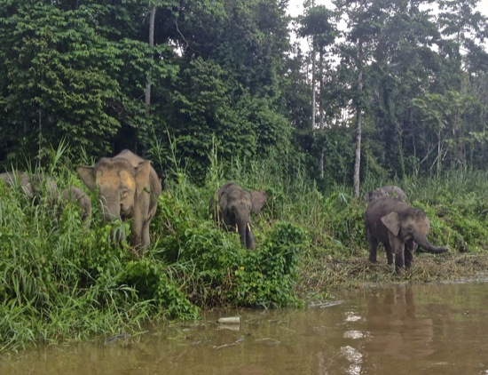 elephants feeding on the Kinabatangan