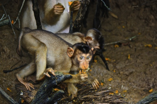 monkeys feasting on the Kinabatangan river