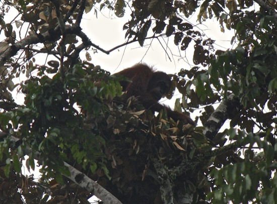 orangutan in a tree on the Kinabatangan