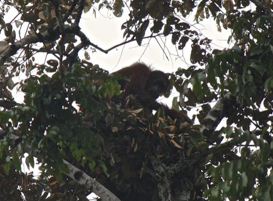 orangutan in a tree on the Kinabatangan
