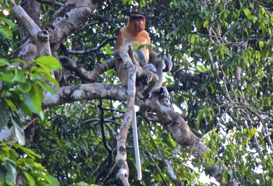 alpha male proboscis monkey on the Kinabatangan