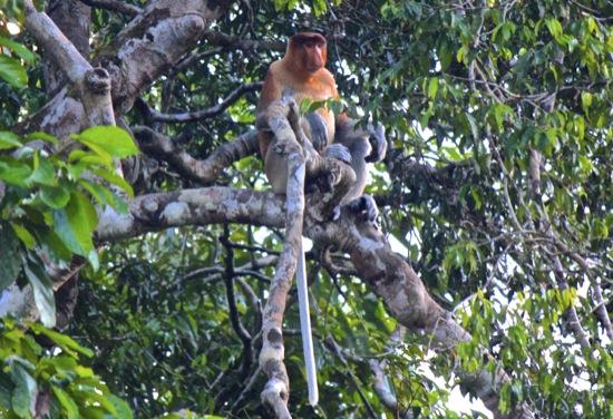 alpha male proboscis monkey on the Kinabatangan