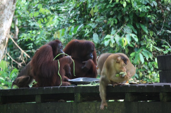 monkey stealing food from orangutans in Sepilok