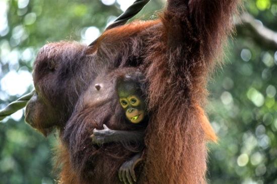 mother orangutan with her baby in Sepilok