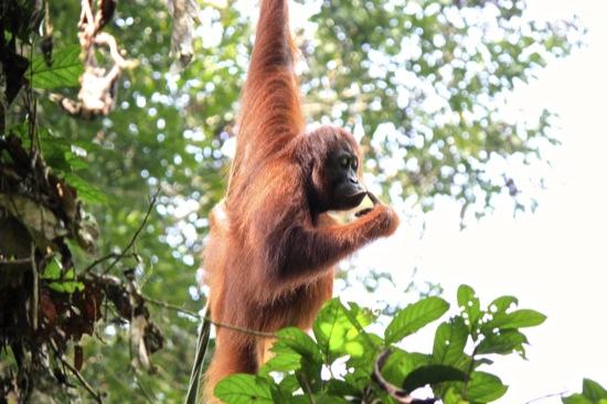 orangutan thinking in Sepilok