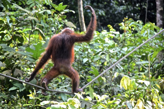 orangutan walking the tightrope in Sepilok