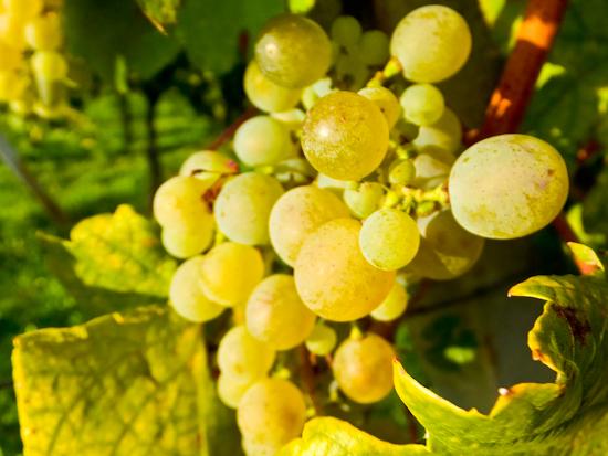2013-09-25-Grapes.jpg
