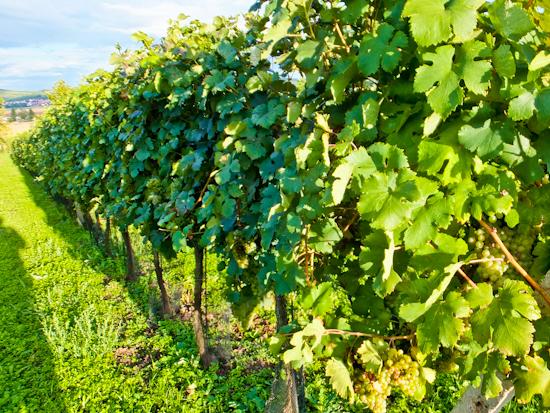2013-09-25-Vines.jpg