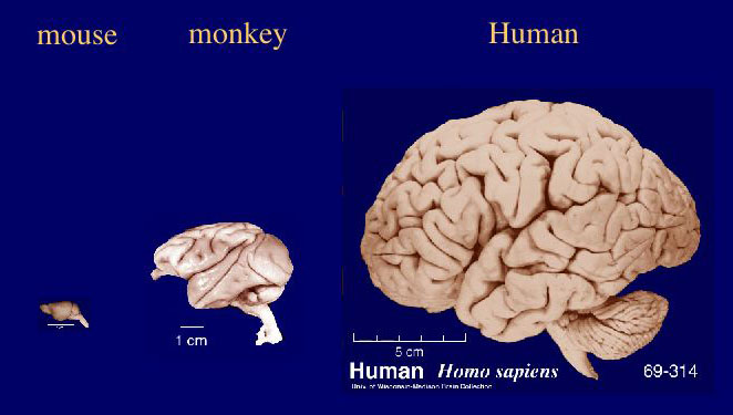 2013-09-26-braincomparisonhumanmonkeymouse