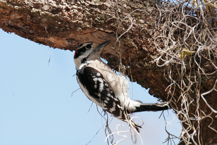 2013-10-03-downywoodpecker3.jpg