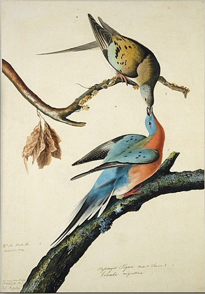 Is Extinction Forever? Or Is the Passenger Pigeon Waiting in the Wings?
