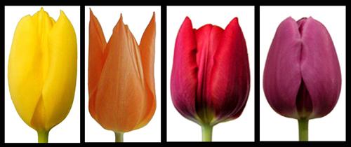 2013-10-08-Tulips01.jpg