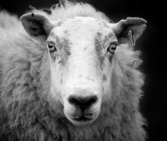 2013-10-11-mouton.JPG