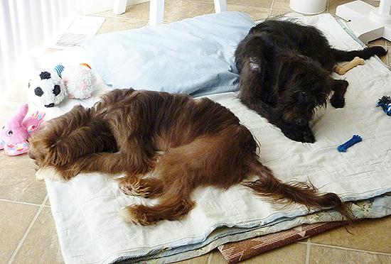 2013-10-11-puppymillfosterfailHattieLayla02.jpg