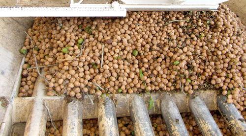 2013-10-11-walnutsorting.JPG