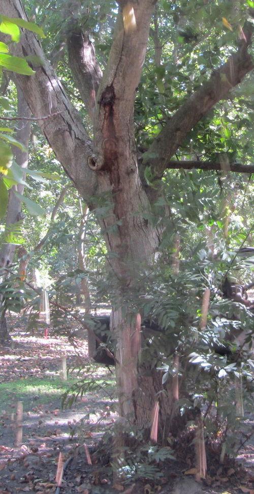 2013-10-11-walnuttree.JPG