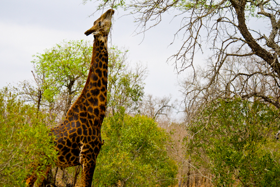 2013-10-15-Giraffe.jpg
