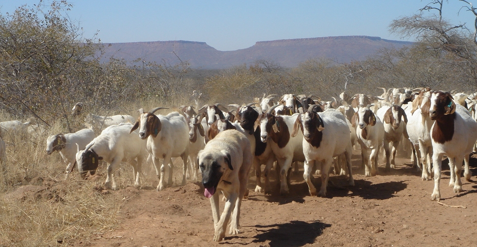 2013-10-15-Kangal_Shepherd_livestockguarding_dog_and_flock_of_goats_in_Namibia.jpg