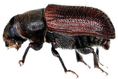 2013-10-16-SpruceBeetle_Dendroctonus_rufipennisviaidtools.org_resize.jpg