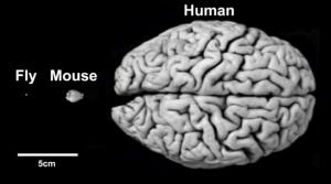 2013-10-22-braincomparisonsmouse300x167.png